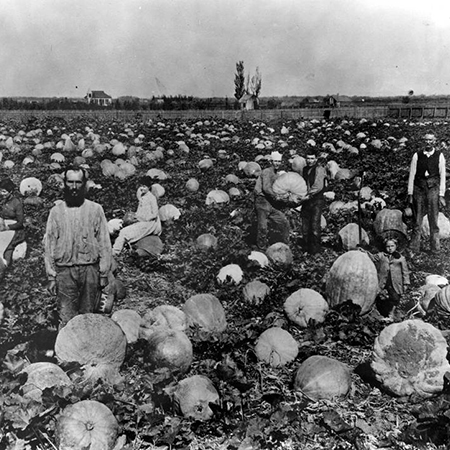 Men in a field of pumpkins, sometimes called 'Lankershim oranges' at that time, in Lankershim, 1915